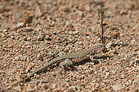 442000002 a wild nevada side-blotched lizard uta stansburiana nevadensis basks in the buttermilks near bishop owens valley inyo county california united states