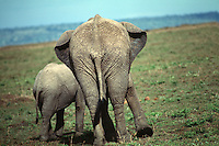 Rear view of an adult and young elephant walking companionably on an African plain. Masai Mara, Kenya.