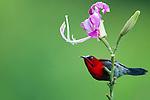 Crimson Sunbird (Aethopyga siparaja) male, Tawau Hills Park, Sabah, Borneo, Malaysia