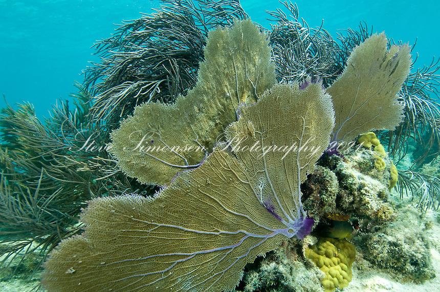 Fan Coral<br /> Leinster Bay, St John<br /> Virgin Islands National Park