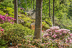 Azaleas in bloom at the Coastal Maine Botanical Gardens in Boothbay, Maine, USA