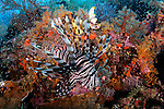 Lionfish, Pterois volitans, swims in front of soft coral, Dendronephthya sp., Raja Ampat, West Papua, Indonesia, Pacific Ocean