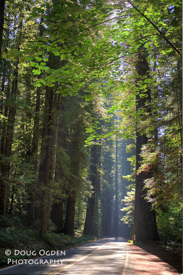 Sunlight shining through giant Sequoia Cedars in the Redwoods Forest along highway 101