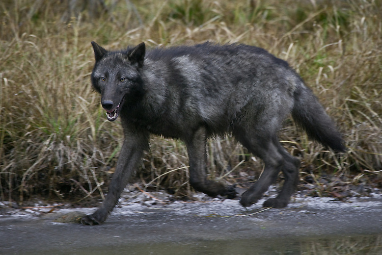 Grey Wolf trotting along the edge of a frozen river - CA