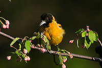 Male Baltimore Oriole or Northern Oriole (Icterus galbula) perched on apple tree limb.  Great Lakes Region.  Spring.