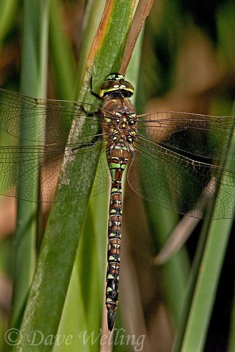 339360019 a wild heteromorph female blue-eyed darner rhionaeschna multicolor perches on a cattail frond along piru creek frenchman's flat los angeles county california