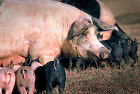 Sows with nursing piglets.