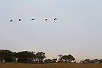 Spur-winged Goose (Plectropterus gambensis) flock flying over floodplain, Busanga Plains, Kafue National Park, Zambia