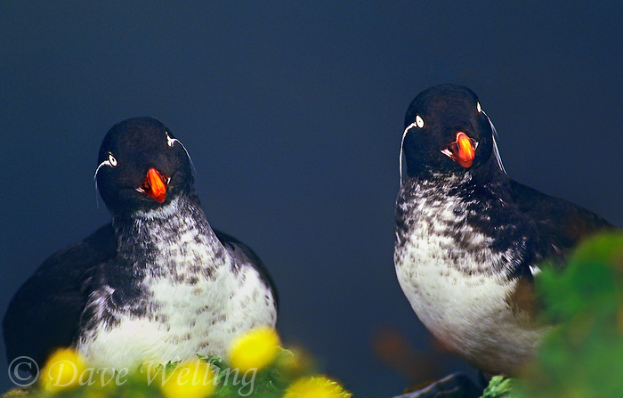 506790360 a wild pair of parakeet auklets cyclorrhynchus putittacula perch on a sheer cliff side on saint george in the pribilof islands off alaska