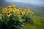 Idaho, Lewiston. Spring sunflowers (arrow-leaved balsamroot) growing high on a hillside overlooking the Lewiston Valley. Balsamorhiza sagittata.