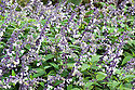 Salvia 'Phyllis Fancy', early October.