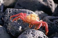The grey lava rocks at the edge of the sea provide no cover for a brightly coloured crab as it scuttles down to the water.