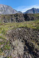 Grizzly bear footprint along a drainage that flows into the Marsh Fork of the Canning River in the Arctic National Wildlife Refuge, Brooks Range mountains, Alaska.
