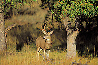 Mule Deer buck (Odocoileus hemionus) in old orchard.  Western U.S., Fall.