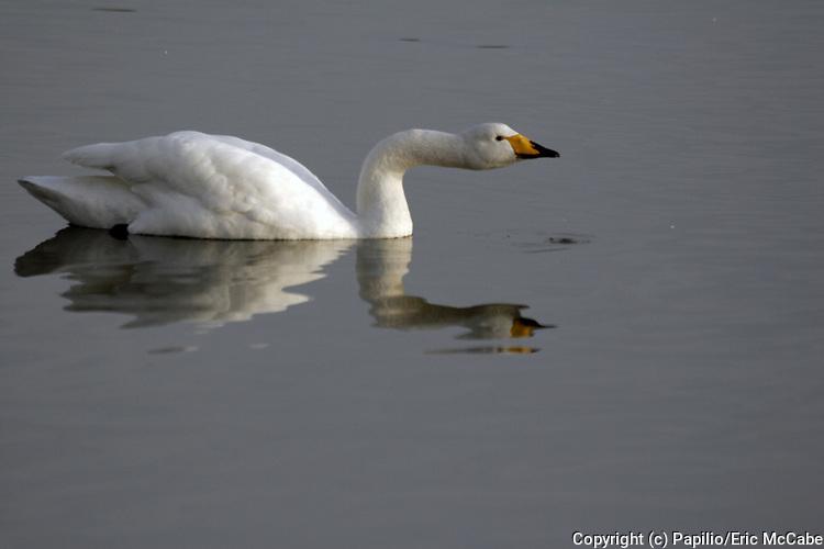 Whooper swan on pond, Cygnus cygnus, Caerlaverock, Dumfries & Galloway, Scotland, reflection
