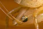Brown Conehead Katydid, possibly: Pyrgocorypha uncinata
