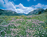 Daisy wildfowers in the Elk Mountains in the Gothic area, Crested Butte, Colorado, USA. .  John offers private wildflower tours in the Crested Butte area and throughout Colorado. Year-round.