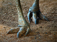 A Cassowary's three-toed feet have sharp claws. The second toe, the inner one in the medial position, sports a dagger-like claw that is 125 millimetres (4.9 in) long .This claw is particularly fearsome since Cassowaries sometimes kick humans and animals with their enormously powerful legs.