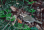 Ovenbird, Seiurus aurocapillus, feeding young at nest