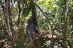 Dead fruitbat or spectacled flying fox. A casualty of paralytic tick bites. Spectacled flying fox (Pteropus conspicillatus)