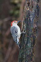 Red-bellied Woodpecker (Melanerpes carolinus), perched on a tree stump. Michigan, USA