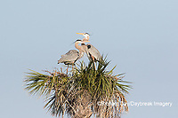 00684-05306 Great Blue Herons (Ardea herodias) at nest site.  Viera Wetlands Brevard County FL