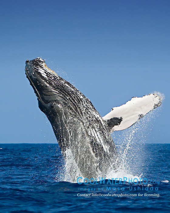 Humpback Whale, breaching, Megaptera novaeangliae, adult, Hawaii, Pacific Ocean