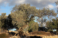 Olive trees, Ulldecona, Montsia, Tarragona, Spain. Picture by Manuel Cohen