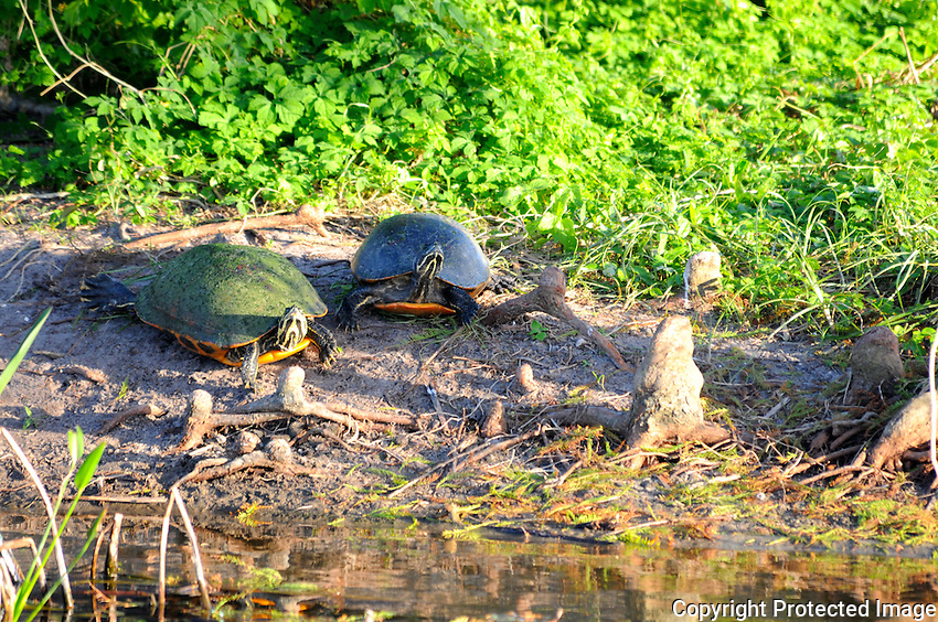 Red-Bellied Turtles photographed at Green Cay Wetlands, Boynton Beach, Florida.