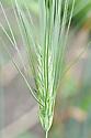 Barley (Hordeum vulgare), early July.