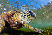 green sea turtle, Chelonia mydas, foraging in shallow reef for algae, endangered species, Laniakea Beach, Oahu, Hawaii, USA, Pacific Ocean