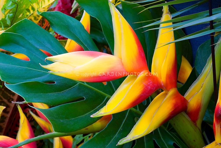 Heliconia Tropical Flower Plant Flower Stock