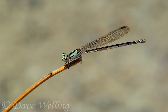 338540001 a wild female paiute dancer argia alberta perches on a small twig along an irrigation canal at blackrock springs inyo county california