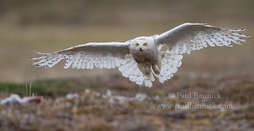 A female Snowy Owl lands at her nest to care for her nestlings.