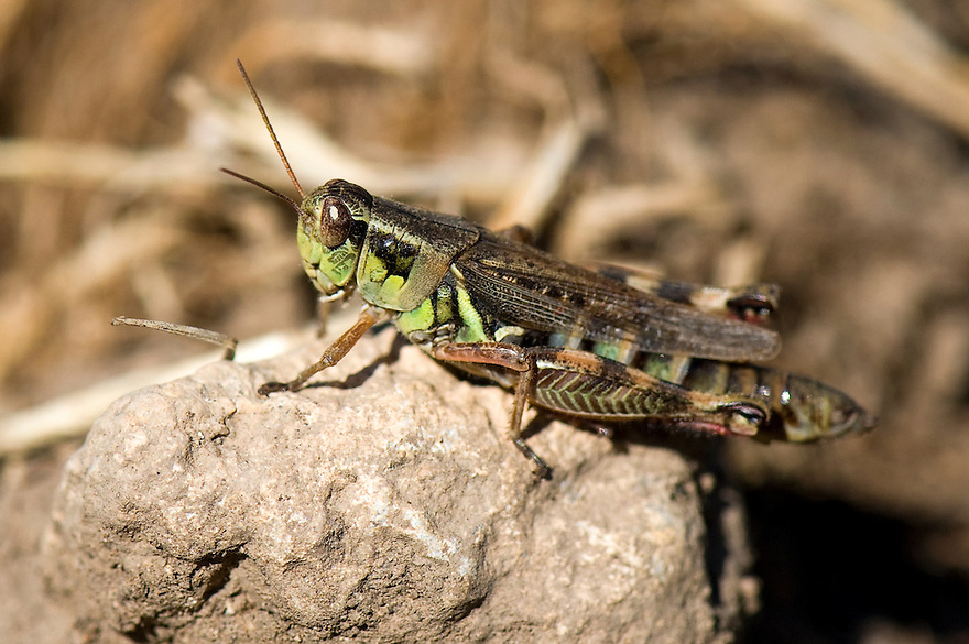 A grasshopper rests on a rock along Blacktail Deer Creek near Dillon, Montana.