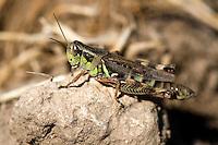 A grasshopper rests on a rock along Blacktail Deer Creek near Dillon, Montana.