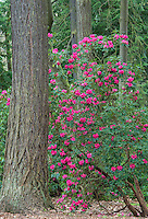 Rhododendron and Douglas Fir
