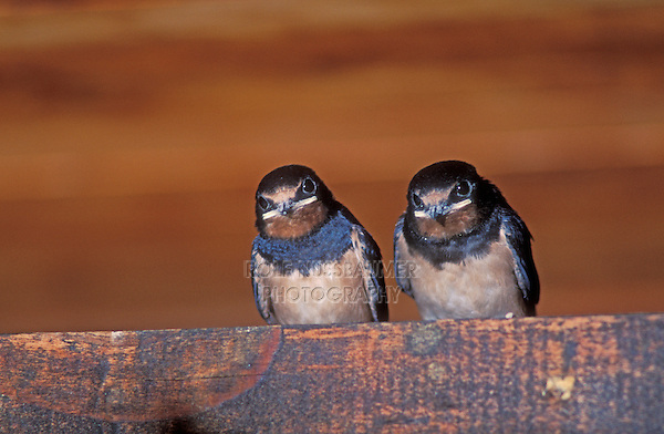 Barn Swallow, Hirundo rustica,newly fledged young in Barn, Oberaegeri, Switzerland, Europe