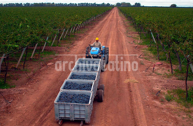 Cosecha de uvas y produccion de vinos en la finca de la Familia Zuccardi en Maipú, 25 kilómetros al sur de Mendoza, provincia que  produce 1.200 millones de litros de vino por año.+agricultura, econmia, vitivinicola *Grapes pickings and wine production at  Familia Zuccardi vineyard in Maipu, 15 miles south of Mendoza city, a province  that produces more than three million gallons  of wine per year +economy, agriculture*Vendange dans la propriété de la Bodega Familia Zuccardi, à Maipú, à 25 kilomètres au nord de Mendoza. mendoza possède 75 % des 250 mille hectares de vignobles que possède l'Argentine, et produit 1,200 millions de litres de vin par an. +agriculture, campagne, vigneron, raisin, grappe, travail, ouvrier, agricole, paysan, économie, commerce, alcool, exportation