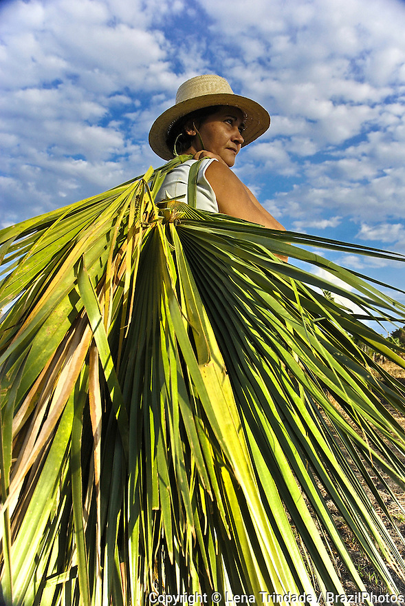 Artisan harvesting carnauba palm leaves ( Copernicia prunifera ), a species of palm tree native to northeastern Brazil for manufacturing craftsmanship. Rio Grande do Norte State.