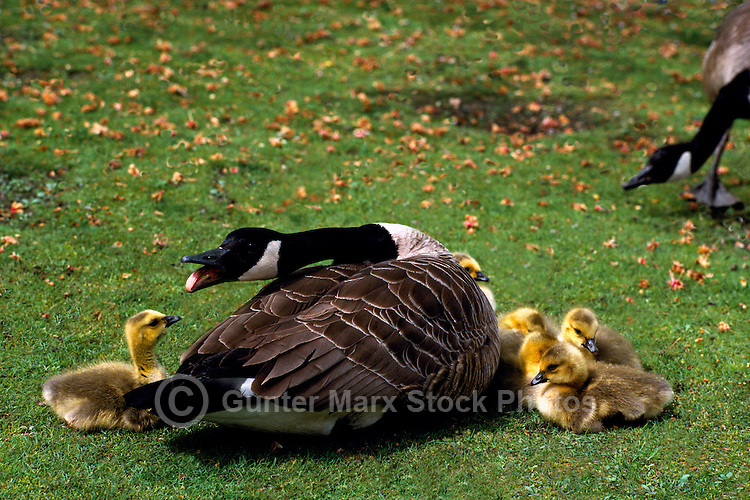 Canada Geese (Branta canadensis) - Canada Goose Parent Bird protecting Gaggle of Young Goslings