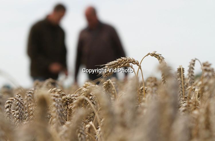 Foto: VidiPhoto..ANDELST - Akkerbouwers vader en zoon Van Olst uit het Betuwse Andelst controleren donderdag het vochtgehalte van de wintertarwe. De korrels zijn overrijp, maar door het natte weer kan er nauwelijks geoogst worden. Akkerbouwers verwachten dit jaar zo'n 20 procent minder opbrengst door het droge voorjaar en de natte oogstperiode. Zowel de prijzen van de tarwe als het bijproduct stro, zijn echter flink hoger dan vorig jaar. Om te kunnen oogsten hebben de akkerbouwers enkele zon en wind nodig. Van Olst heeft 65 ha. tarwe..