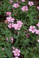 Geranium x oxonianum 'Claridge Druce' in pink flowers, cranesbill perennial geranium