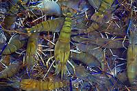 Freshwater prawns, Kahuku