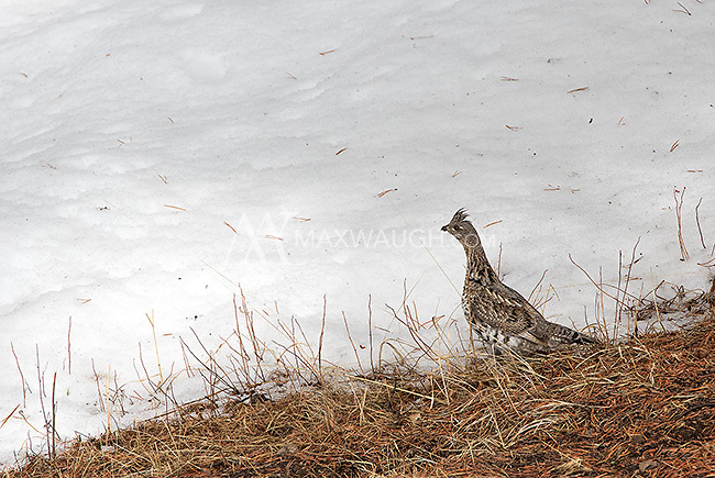 Ruffed grouse are sometimes seen near Yellowstone's northeast corner in winter.