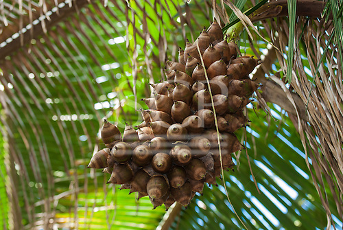 Aldeia Baú, Para State, Brazil. Bunch of babassu nuts on the tree.