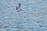 Tern flying with fish<br /> Delta Marsh<br /> Manitoba<br /> Canada