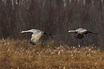 Sandhill cranes flying over Crex Meadows in northwest Wisconsin.