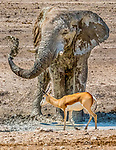 Etosha National Park, Namibia , African bush or savanna elephant (Loxodonta africana) , springbok (Antidorcas marsupialis)<br />