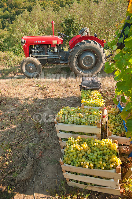 Red 1990s IMT 539 DLI tractor in a vineyard during the muscat grape harvest  at a vinograd (vineyard) near Groka, Serbia